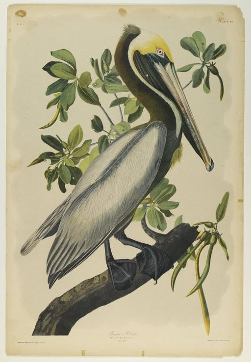 Brooklyn_Museum_-_Brown_Pelican_-_John_J._Audubon_-_2