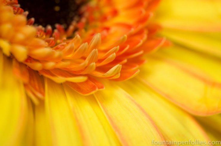 Gerbera closeup